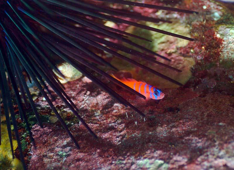 goby/urchin - Bruce Hall 2011